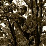 Aan het werk in de kroon van een boom, een paardenkastanje hier.